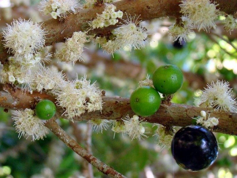 Самое необычное виноградное дерево в мире