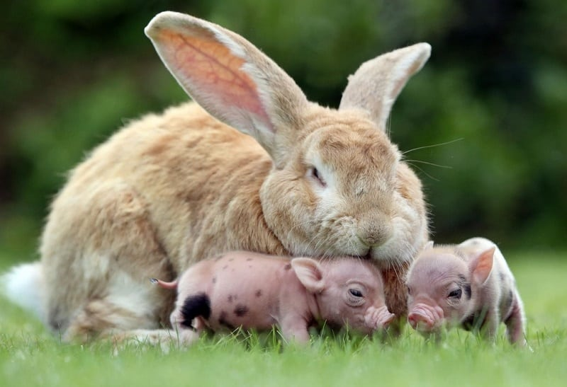 Самые гигантские кролики в мире: как они живут и где обитают