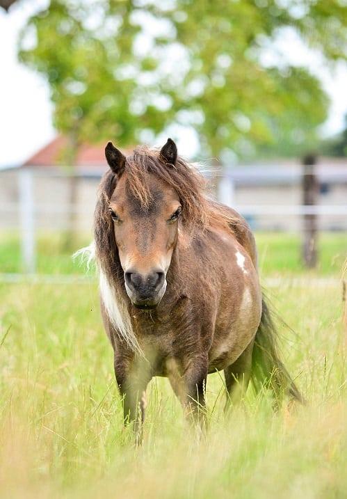 Самые маленькие лошадки в мире породы фалабелла