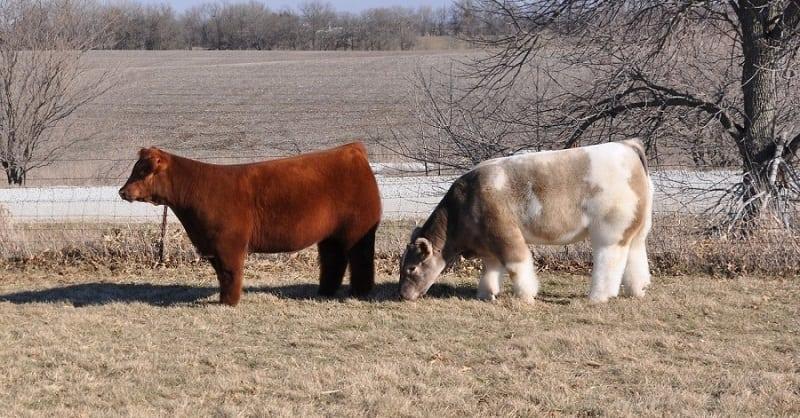 Самые дорогие в мире плюшевые коровки