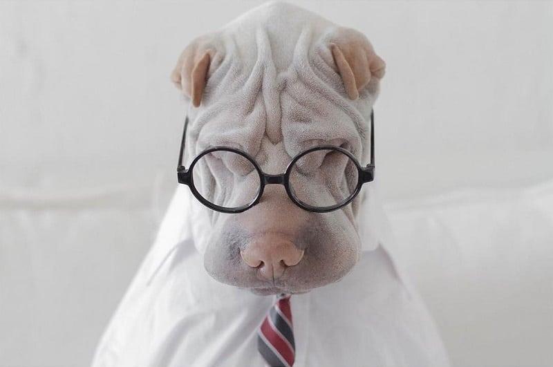 Самый популярный шарпей Инстаграма - Паддингтон