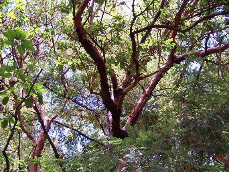 Символ испанского Мадрида - Земляничное дерево