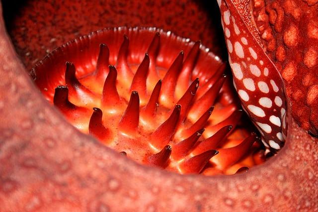 Сказочный цветок раффлезия, растущий в Юго-Восточной Азии