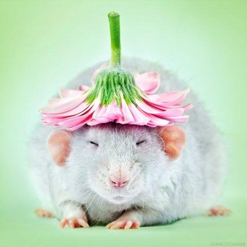 крысы на фото