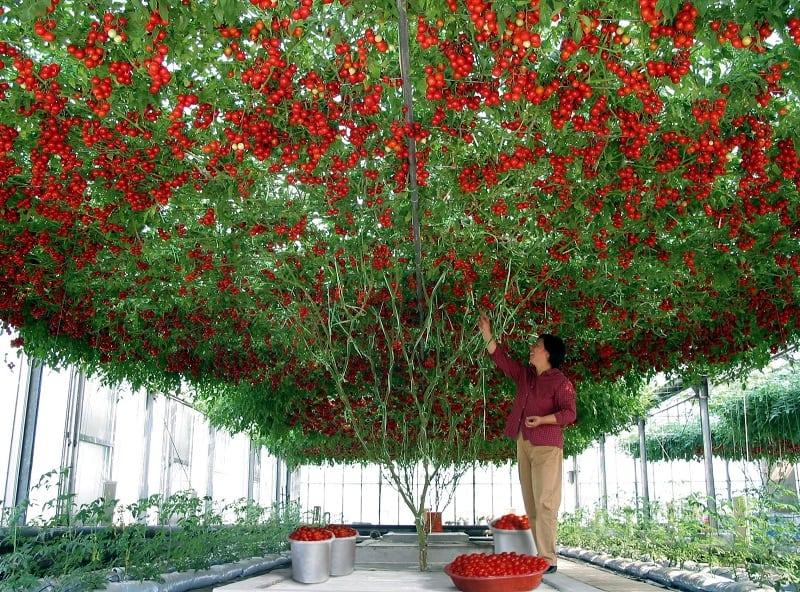 томат-дерево Спрут F1