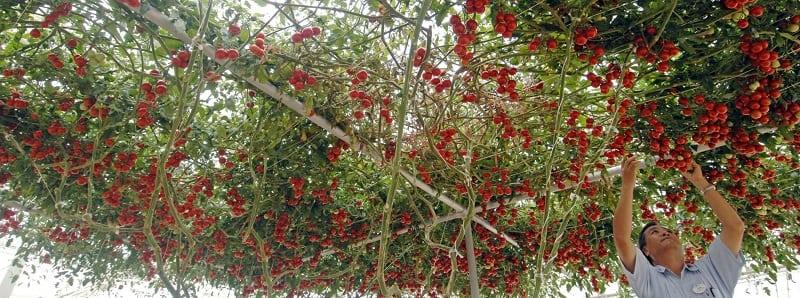 Томат-дерево Спрут F1: Необычный гибридный сорт выведенный фермерами