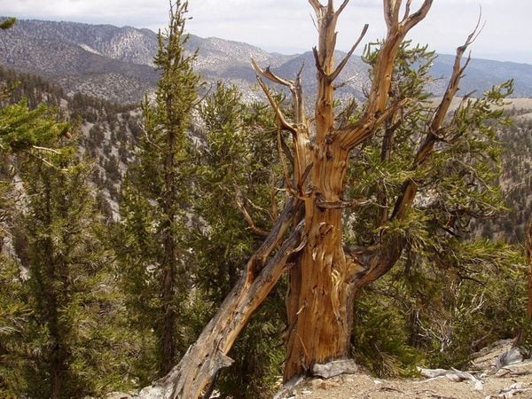 ТОП 5 самых древних деревьев в мире