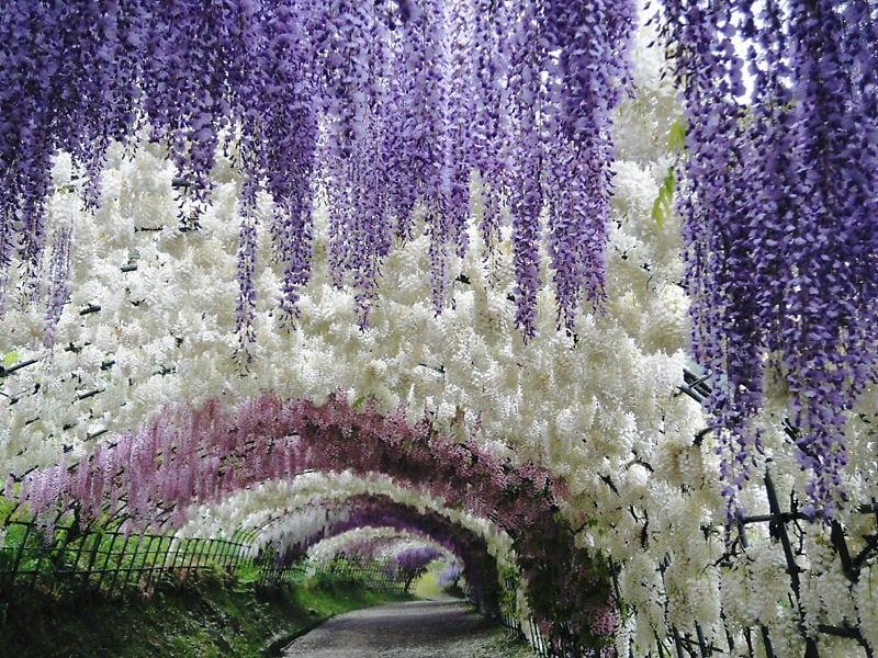 Цветочный сад в Японии Кавати Фудзи