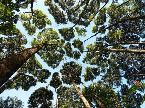 Уникальное природное явление, когда кроны деревьев не соприкасаются с друг другом