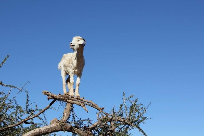 Уникальные козы в Марокко, которые забираются на деревья