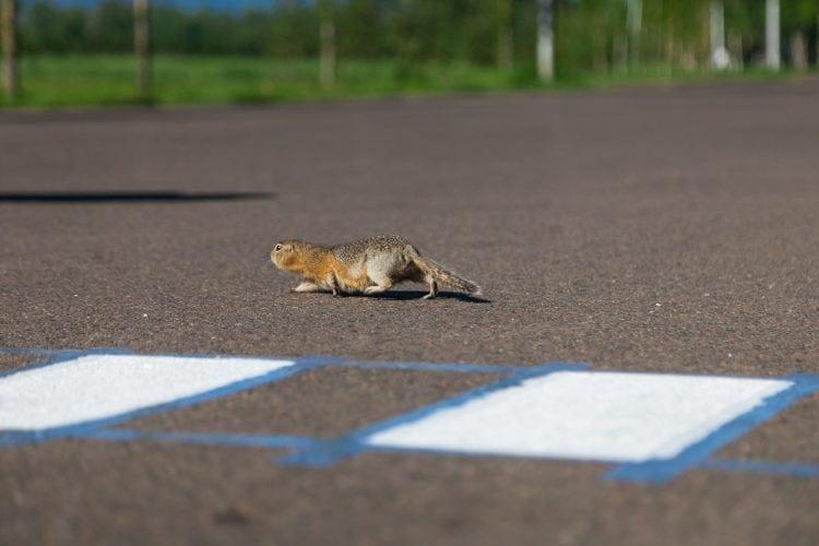 В Красноярске построили специальный пешеходный переход для...СУСЛИКОВ