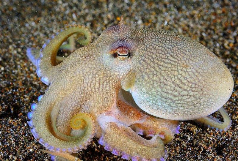 Знали ли Вы, что у осьминогов голубая кровь? И вот почему...