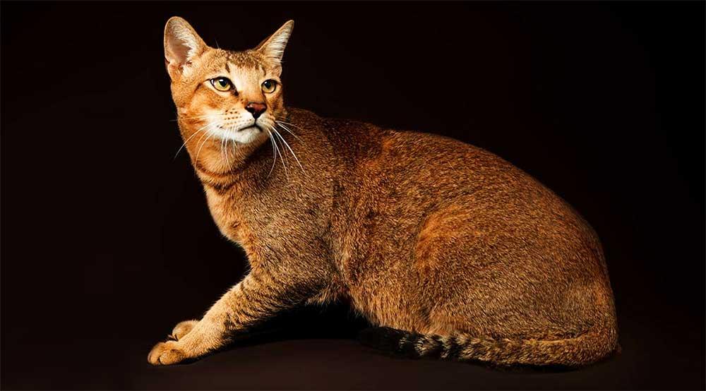 Самые крупные породы домашних кошек в мире, какие они?