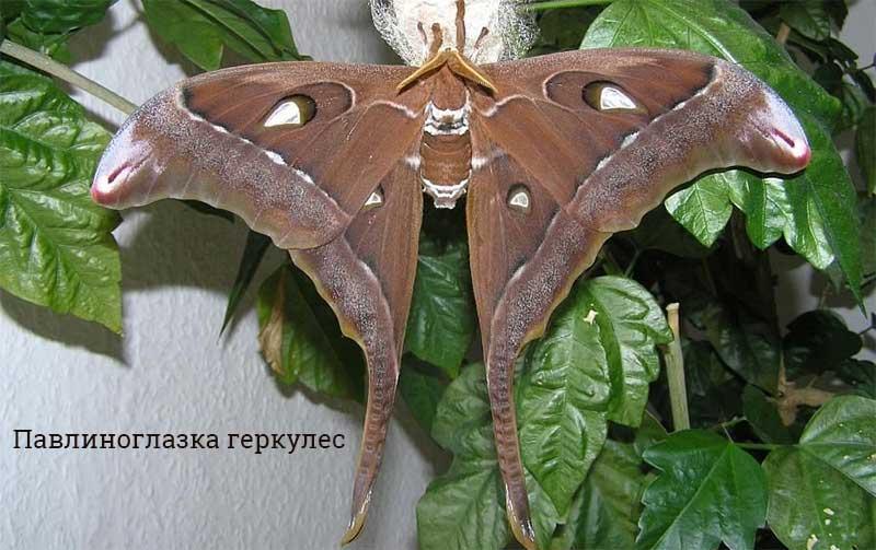 Как выглядит самая большая бабочка в мире – Топ-5
