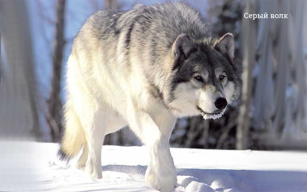 Топ-10 самых крупных волков в мире: сколько весят, где обитают