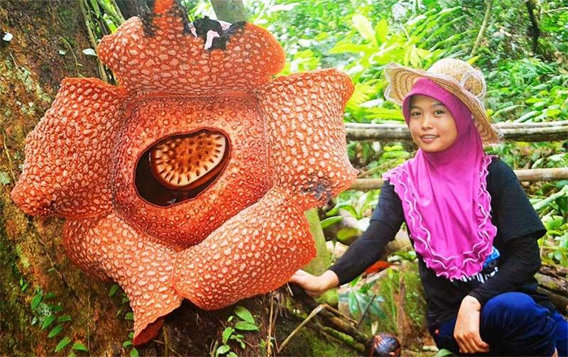 Какой самый большой цветок в мире: фото и описание